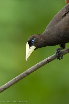 Crested Oropendola coloring #6, Download drawings