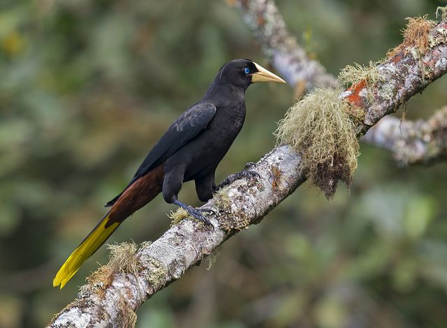 Crested Oropendola coloring #3, Download drawings