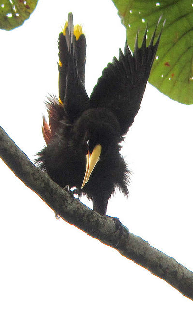 Crested Oropendola coloring #17, Download drawings