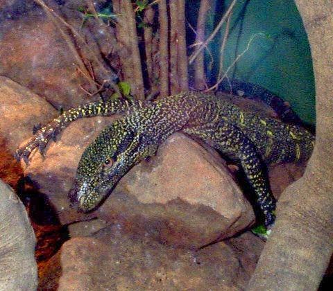 Crocodile Monitor clipart #7, Download drawings