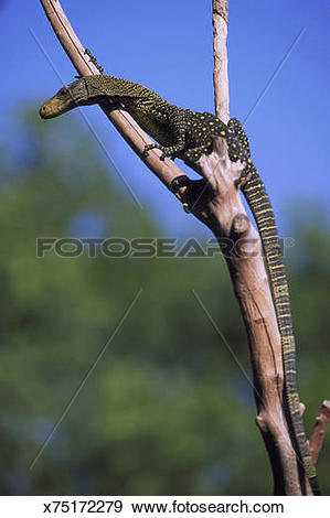 Crocodile Monitor clipart #9, Download drawings
