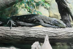 Crocodile Monitor clipart #6, Download drawings