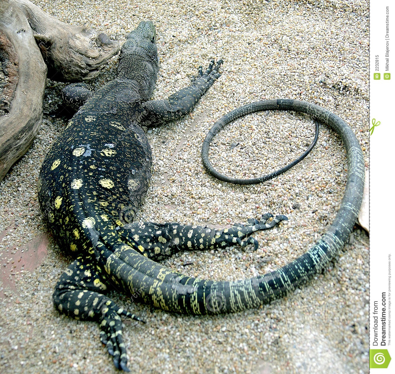 Crocodile Monitor clipart #15, Download drawings