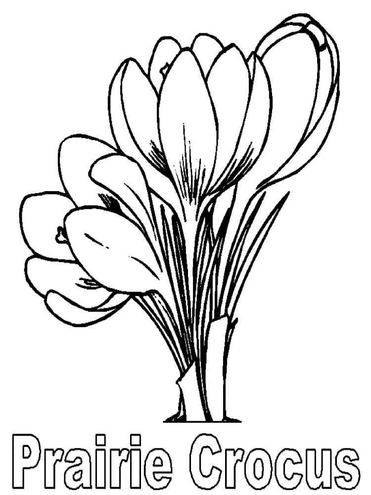Crocus coloring #3, Download drawings