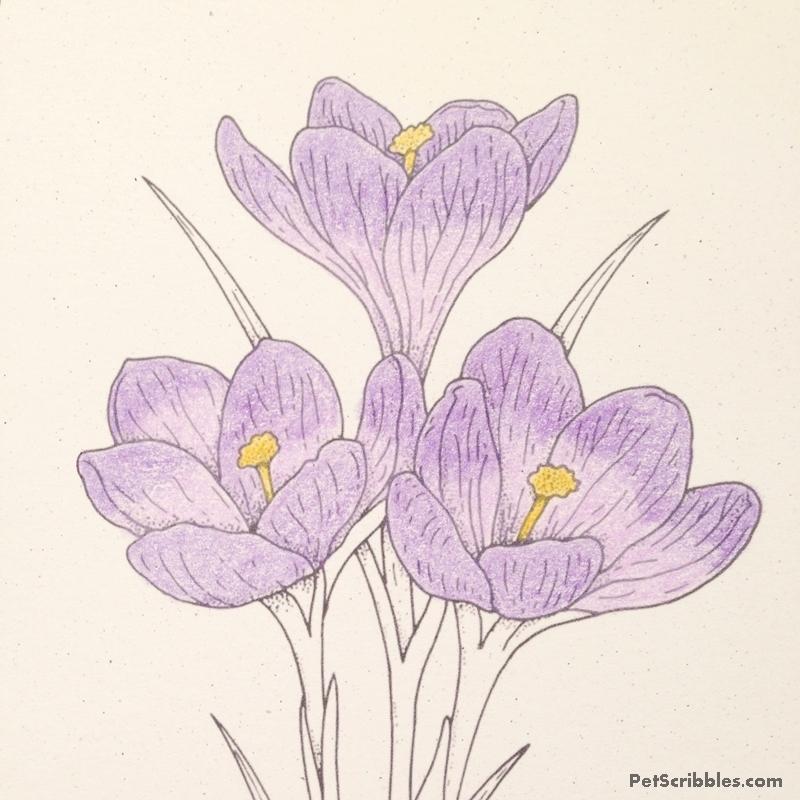 Crocus coloring #2, Download drawings