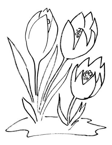 Crocus coloring #13, Download drawings