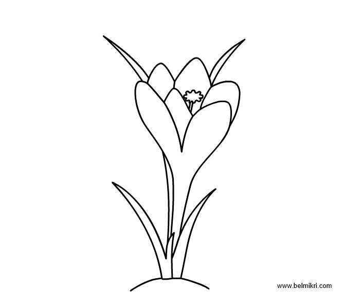 Crocus coloring #5, Download drawings