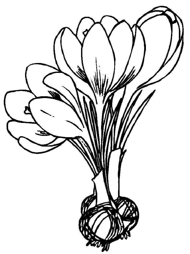 Crocus coloring #11, Download drawings