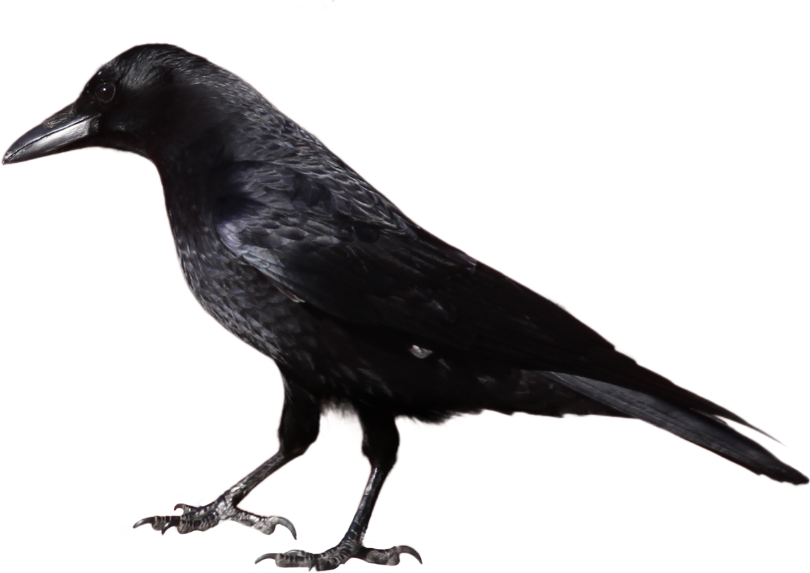 Crow clipart #7, Download drawings