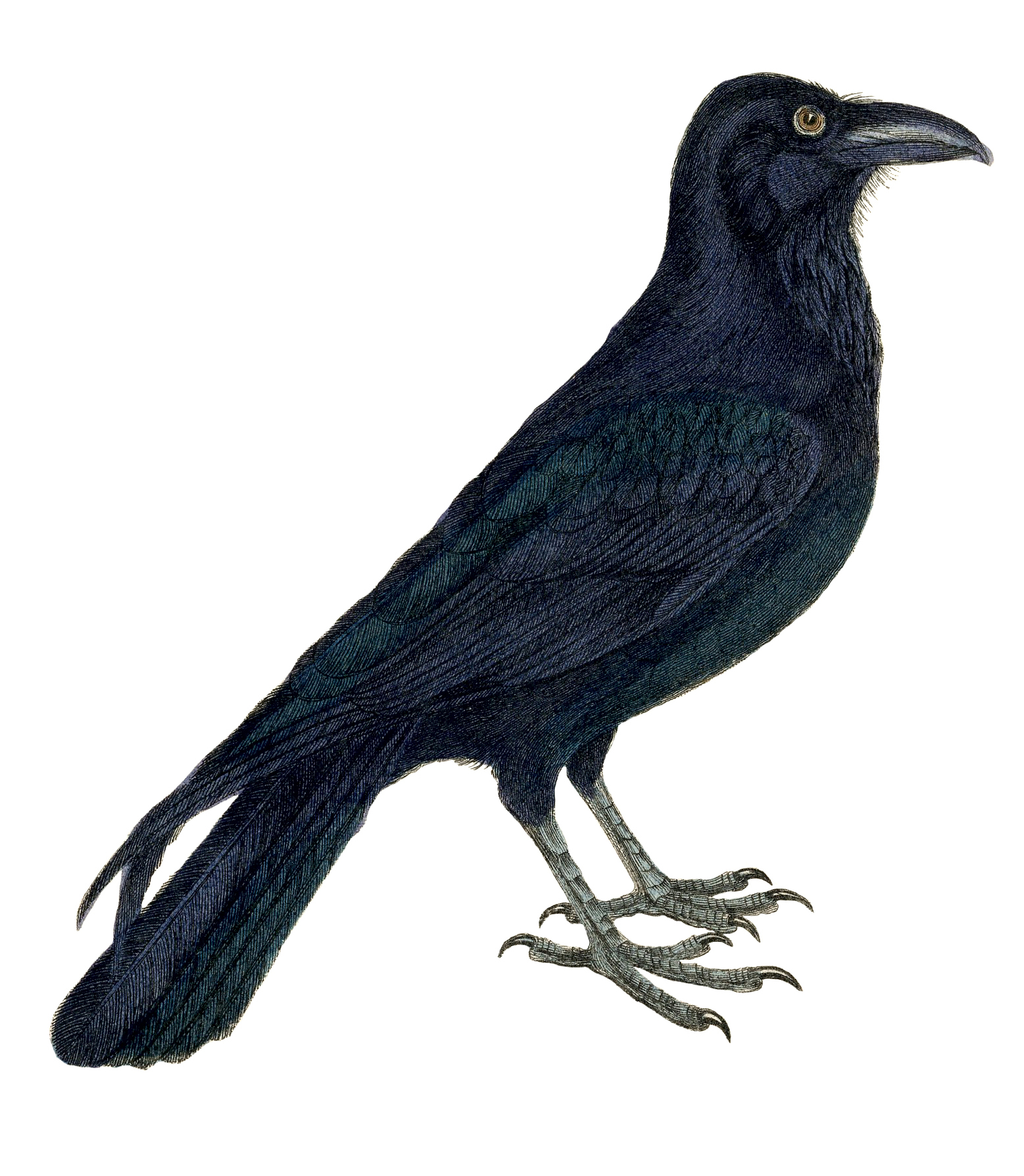 Crow clipart #4, Download drawings