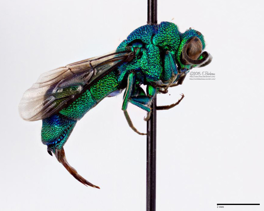 Cuckoo Wasp clipart #4, Download drawings