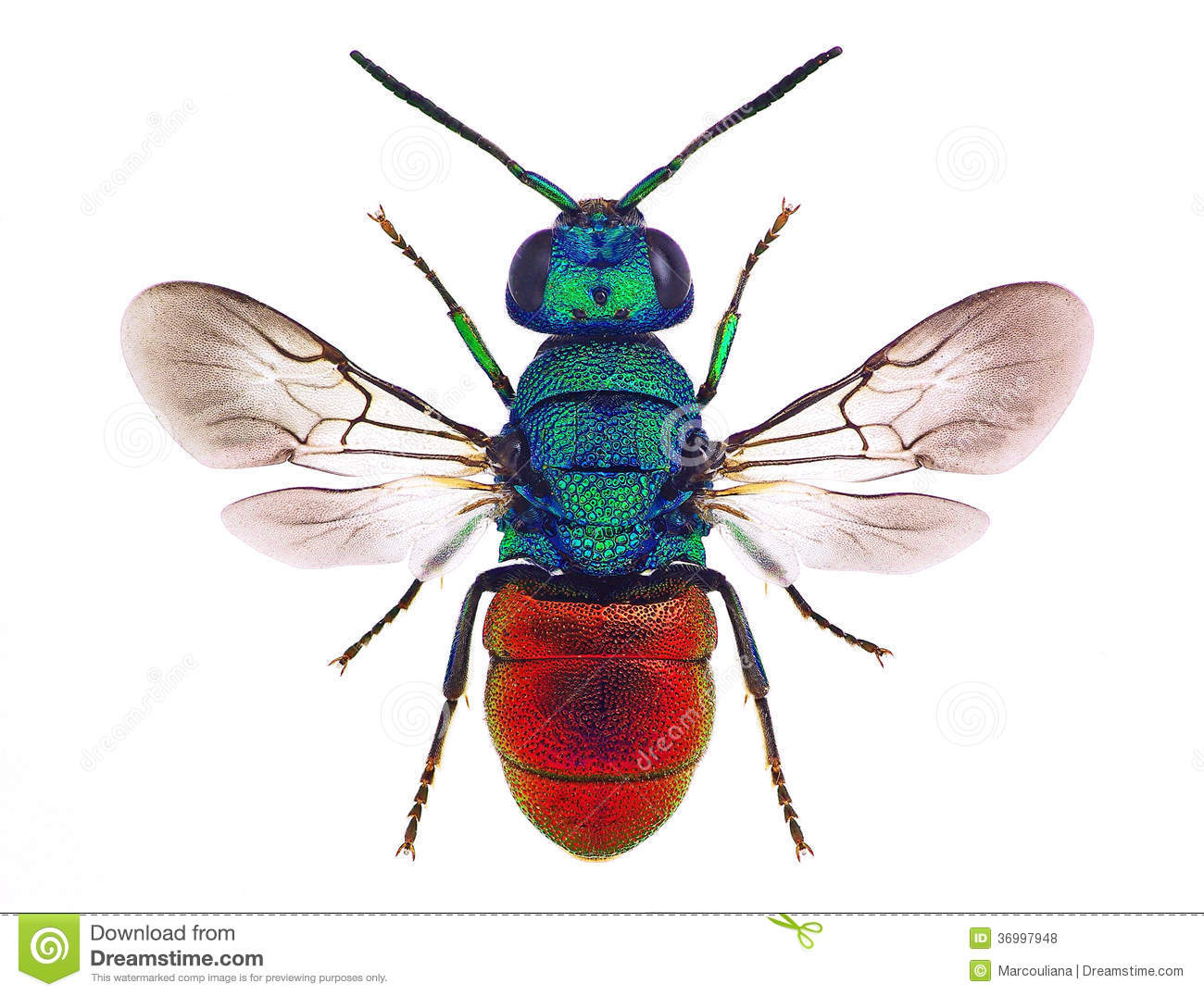 Cuckoo Wasp clipart #20, Download drawings