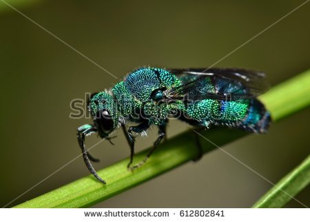 Cuckoo Wasp clipart #19, Download drawings