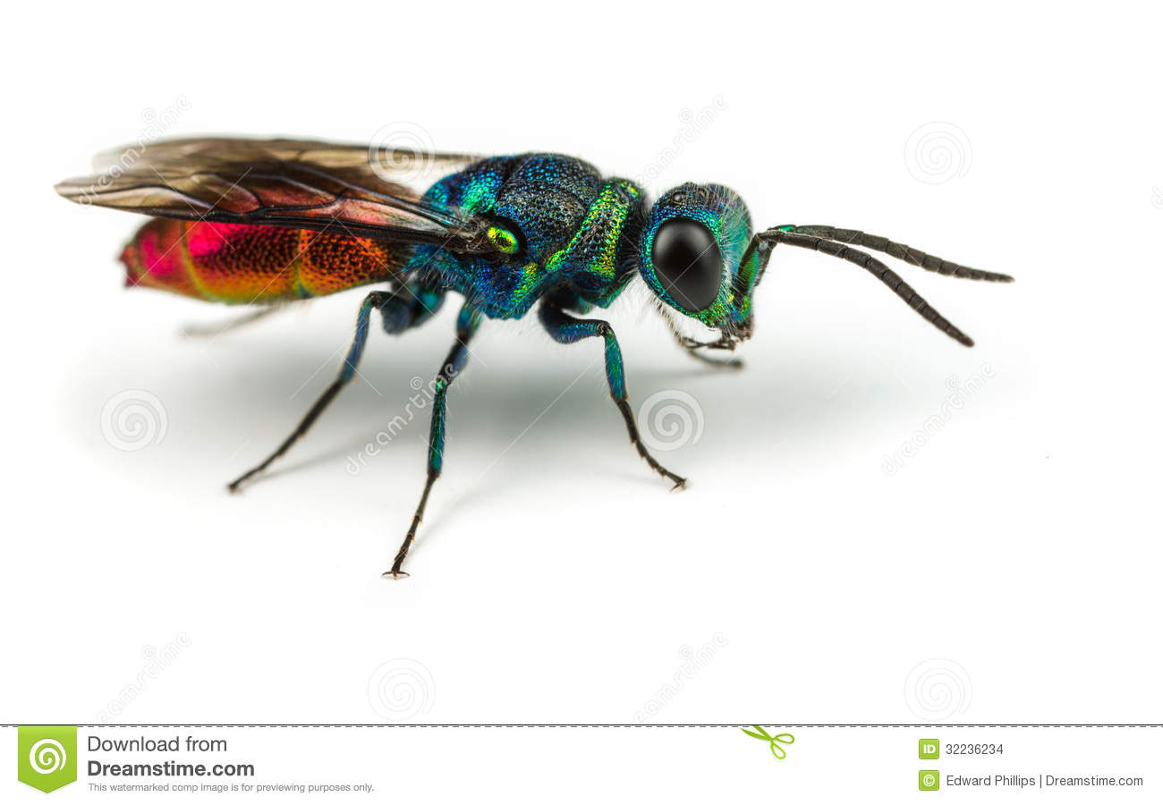 Cuckoo Wasp clipart #17, Download drawings