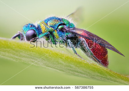 Cuckoo Wasp clipart #16, Download drawings