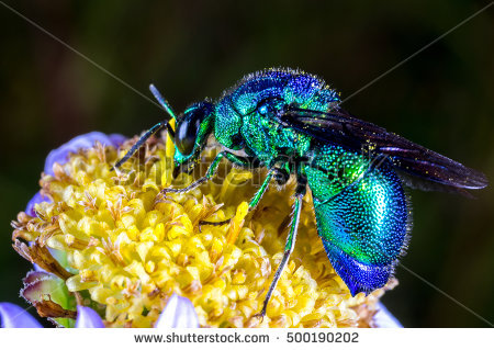 Cuckoo Wasp clipart #13, Download drawings