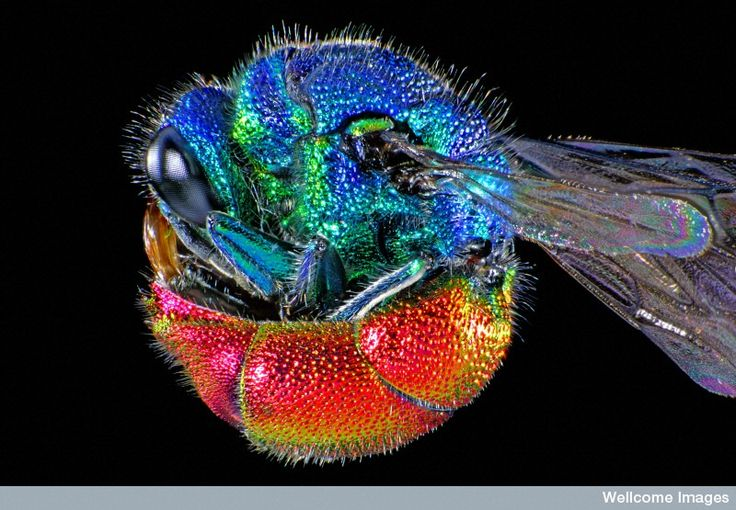 Cuckoo Wasp coloring #12, Download drawings