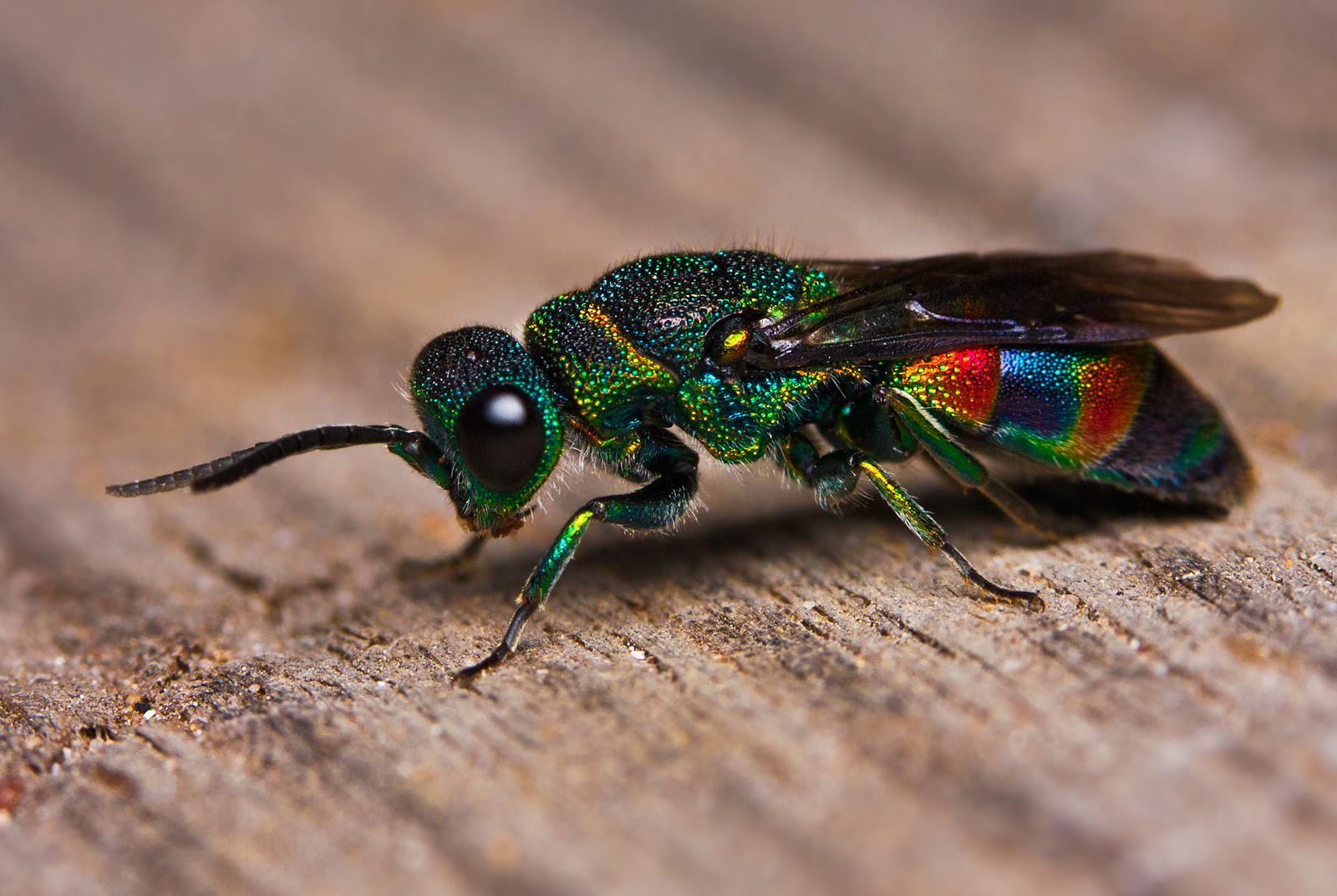 Cuckoo Wasp coloring #5, Download drawings