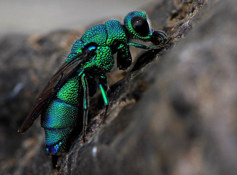 Cuckoo Wasp coloring #7, Download drawings