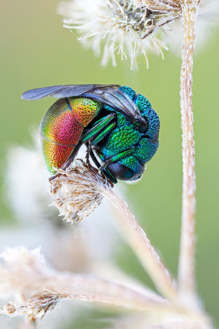 Cuckoo Wasp coloring #2, Download drawings