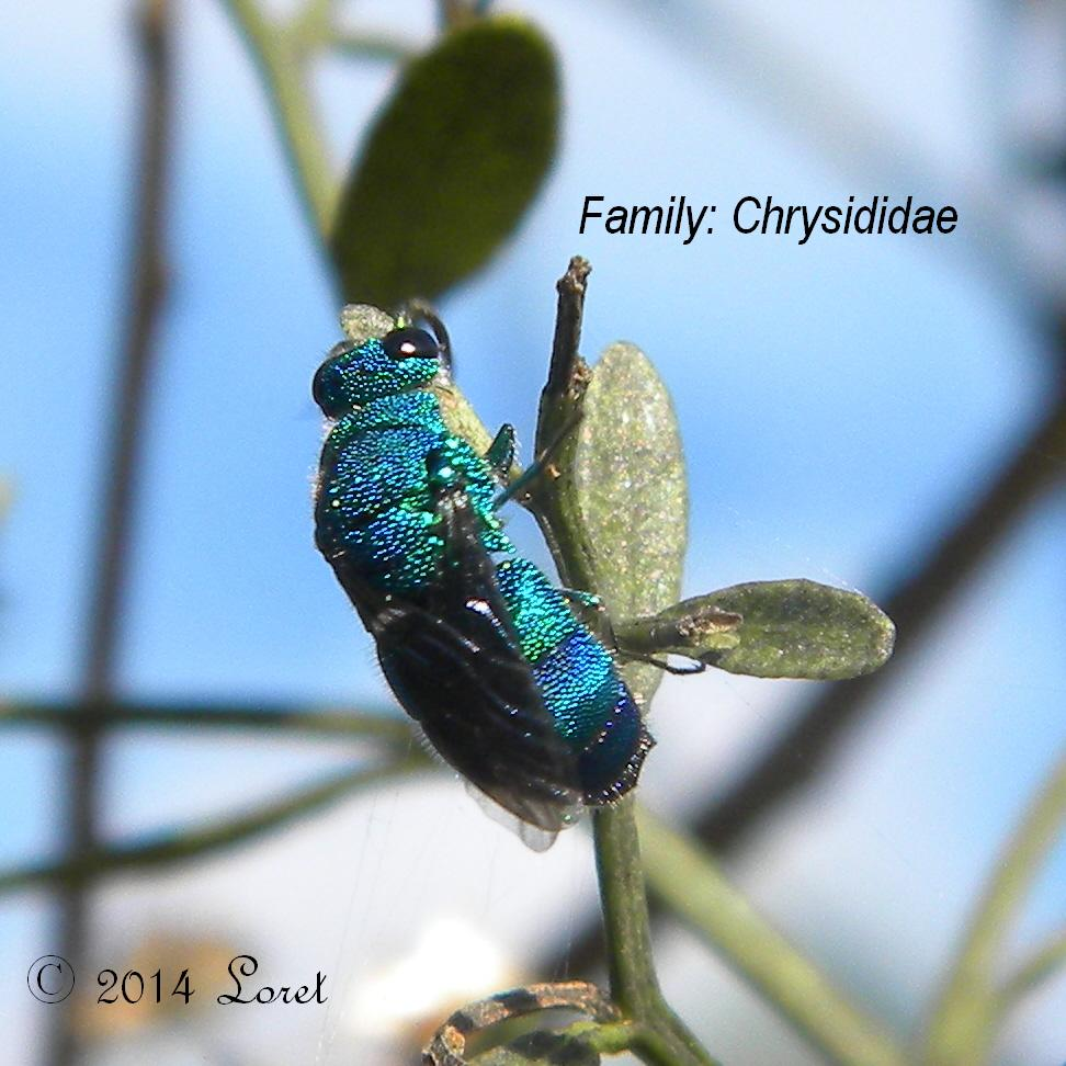 Cuckoo Wasp coloring #1, Download drawings