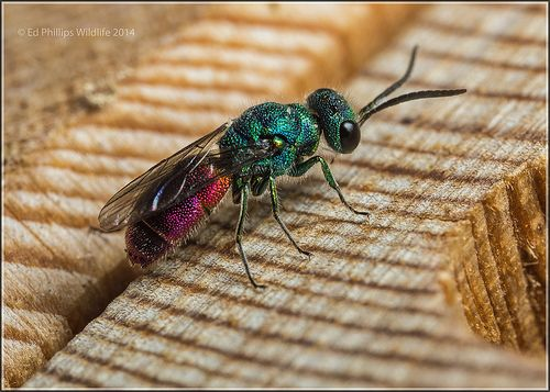 Cuckoo Wasp coloring #3, Download drawings