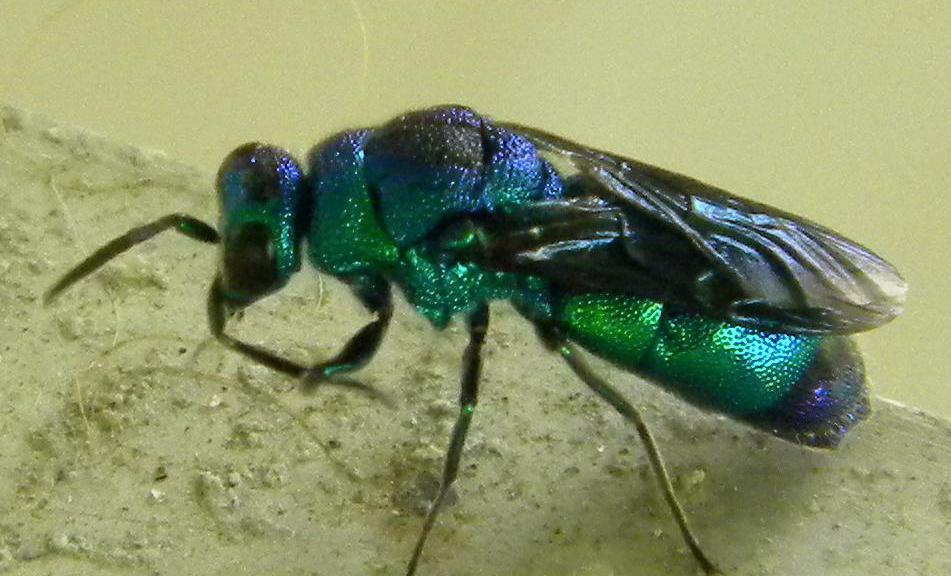 Cuckoo Wasp coloring #15, Download drawings