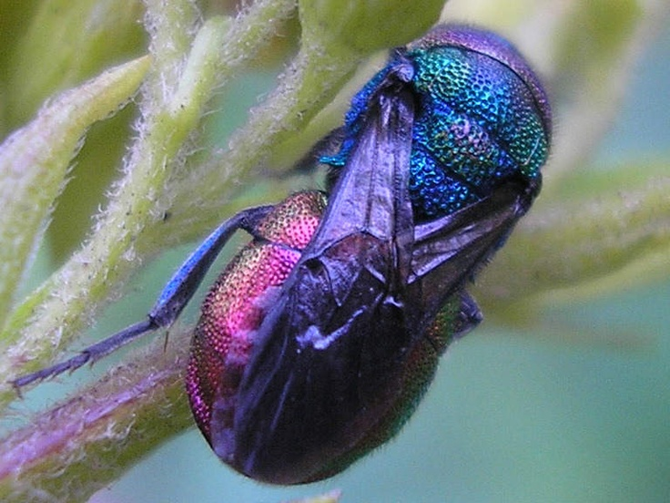 Cuckoo Wasp coloring #14, Download drawings