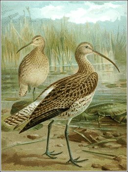 Curlew clipart #2, Download drawings