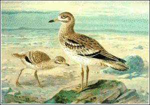 Curlew clipart #8, Download drawings