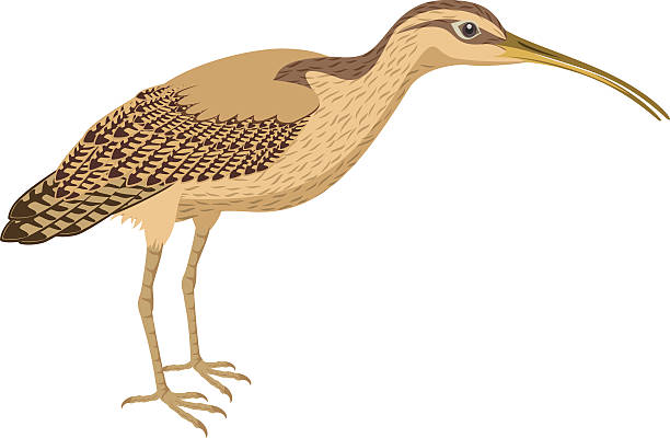 Curlew clipart #16, Download drawings