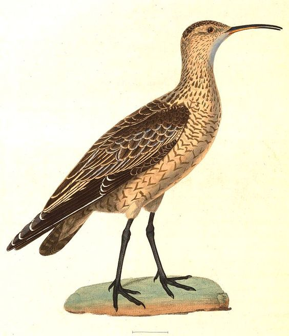 Curlew clipart #9, Download drawings