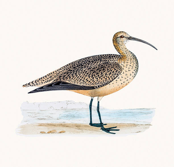 Curlew clipart #15, Download drawings