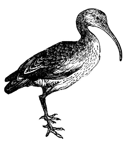 Curlew coloring #18, Download drawings