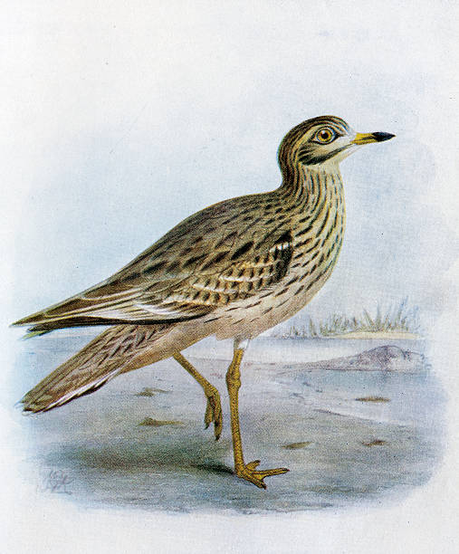 Curlew clipart #13, Download drawings
