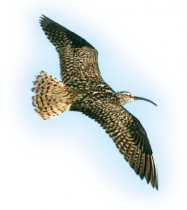 Curlew clipart #1, Download drawings