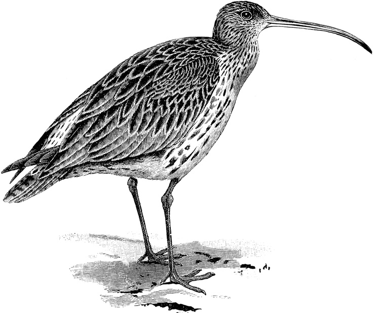 Curlew clipart #12, Download drawings
