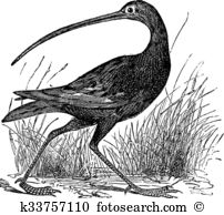 Curlew clipart #4, Download drawings