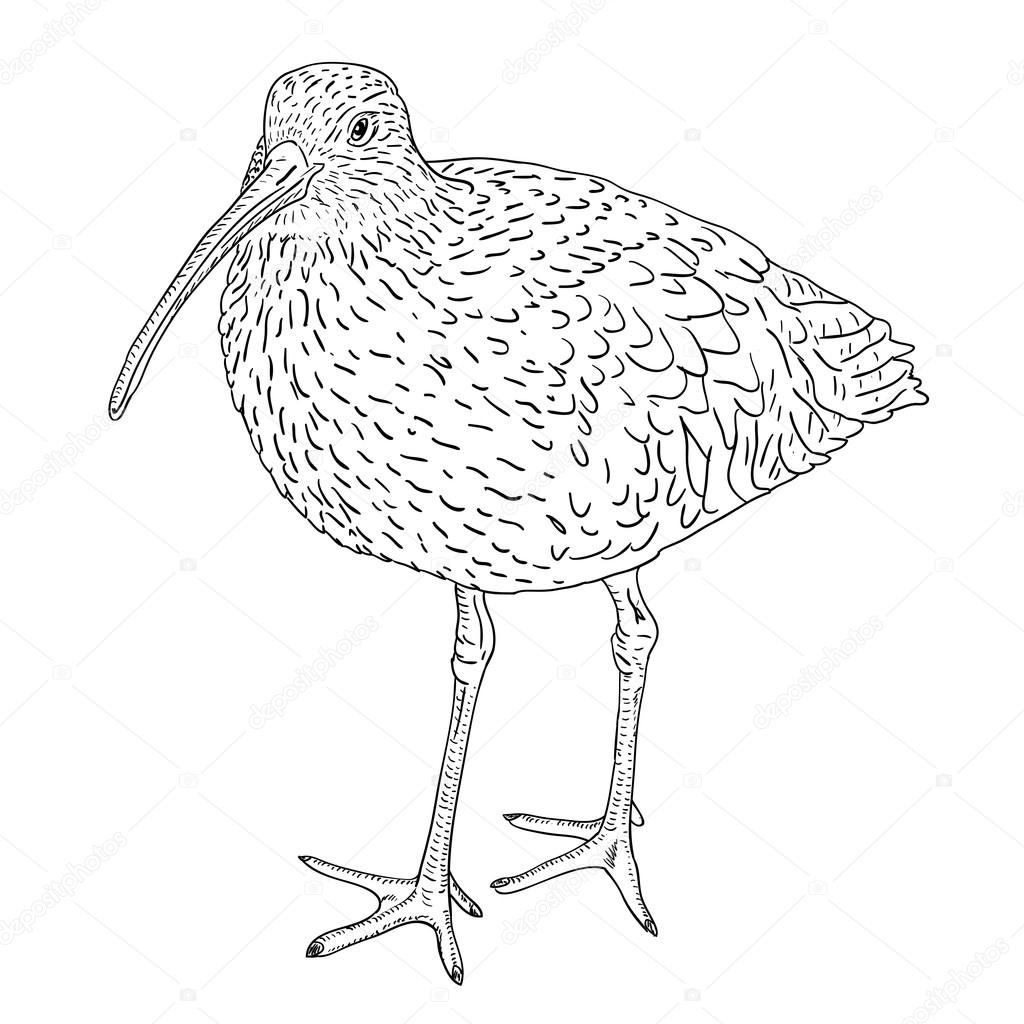 Curlew coloring #14, Download drawings