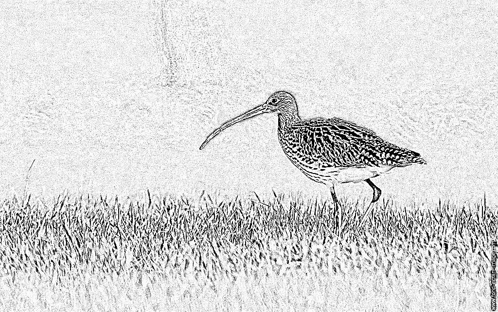 Curlew coloring #8, Download drawings