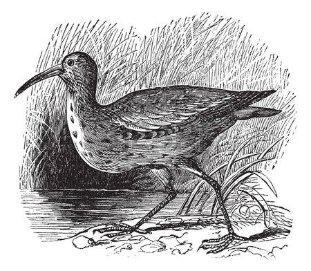 Curlew coloring #12, Download drawings