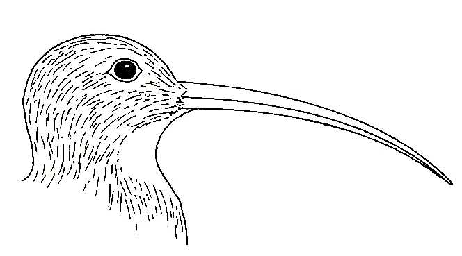 Curlew coloring #9, Download drawings