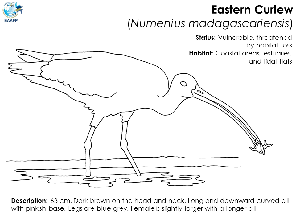 Curlew coloring #4, Download drawings