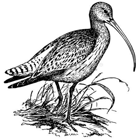 Curlew coloring #20, Download drawings