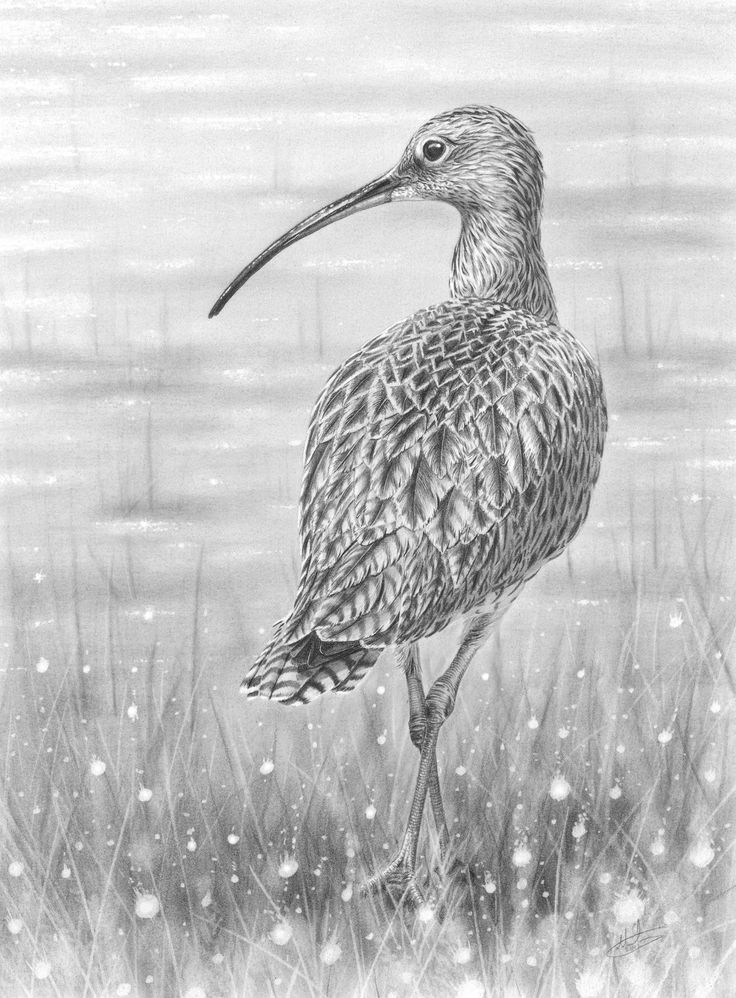 Curlew coloring #19, Download drawings