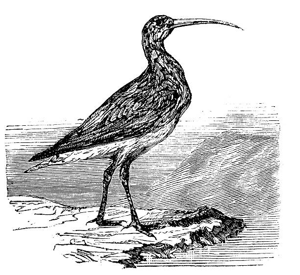 Curlew coloring #17, Download drawings