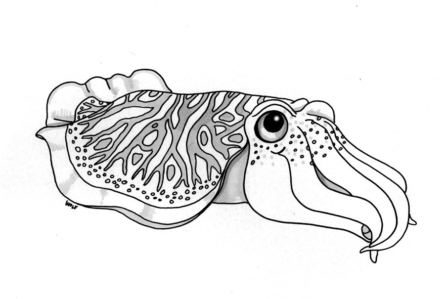Cuttlefish clipart #7, Download drawings