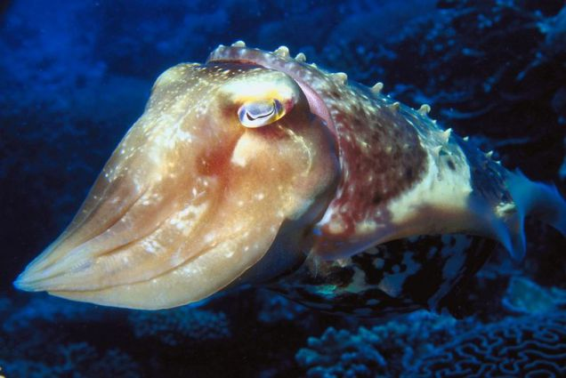 Cuttlefish coloring #3, Download drawings