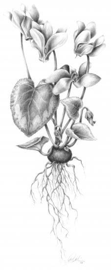 Cyclamen svg #7, Download drawings
