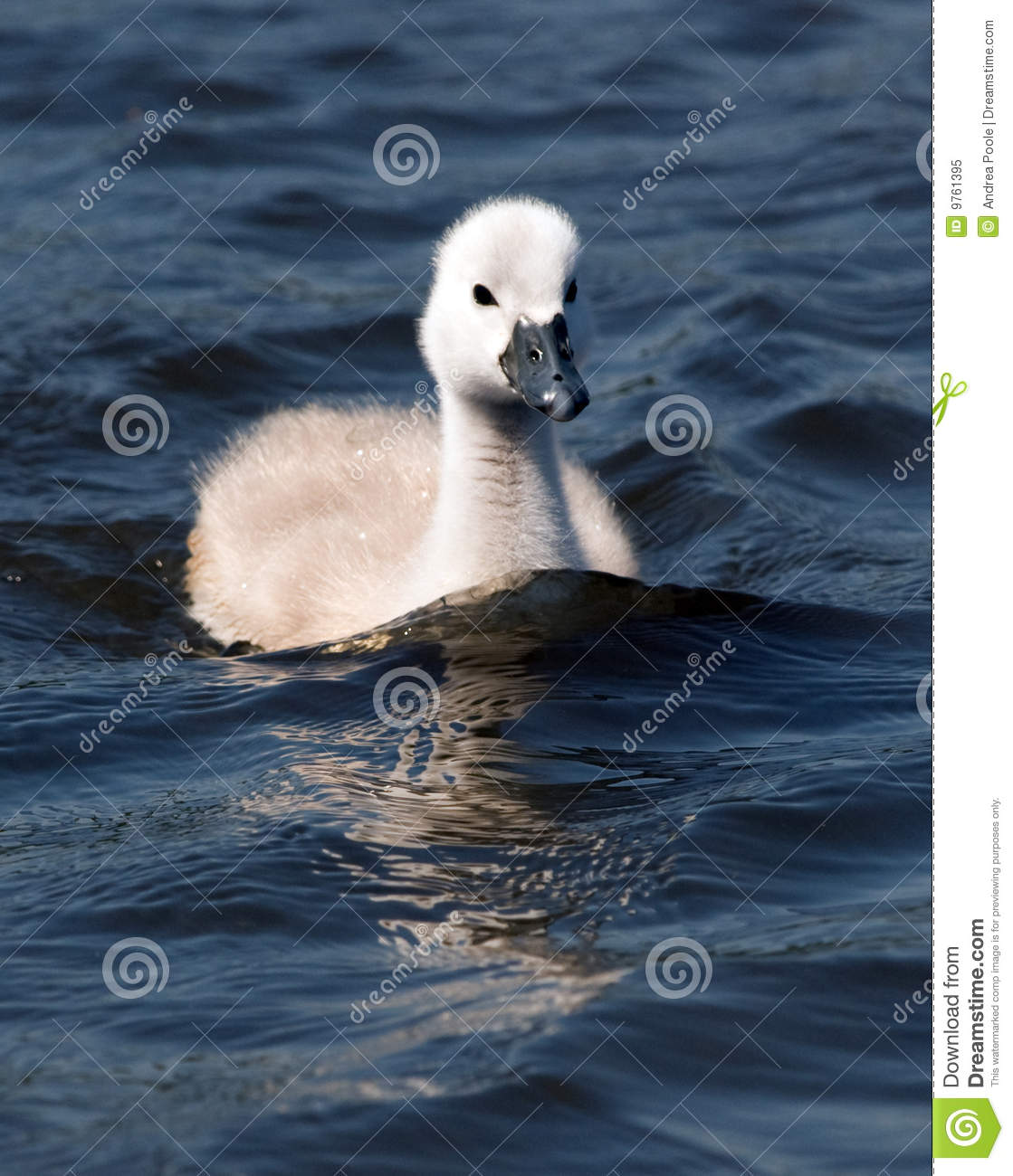 Cygnet clipart #10, Download drawings